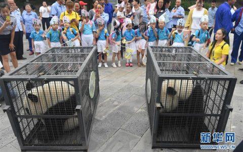 """两只""""闯关东""""的大熊猫返乡并计划生娃"""