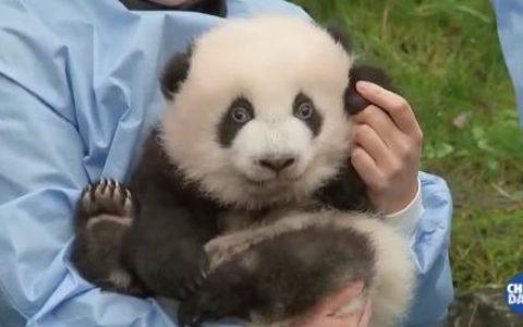 比利时大熊猫龙凤胎被正式命名  叫什么名字?(图)