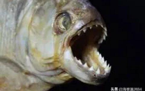 食人鱼在亚马逊少有天敌,为什么没有泛滥?