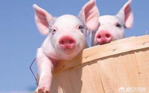 头孢类能够掺在精饲料中养猪吗?