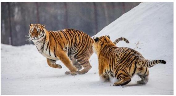 东北虎也扛不住哈尔滨的冷 你意想不到的过冬景观